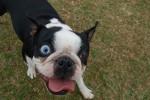 Bulldoggen in  Not: Hier könnt ihr helfen!