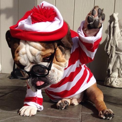 Karneval Der Bulldoggen In Bildern