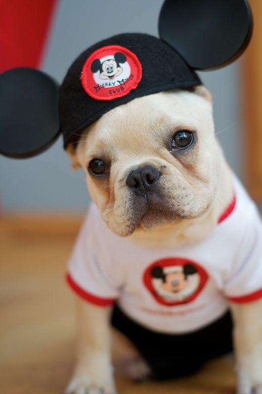 bulldogge cute