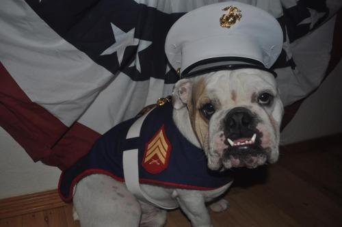 bulldog kosüm