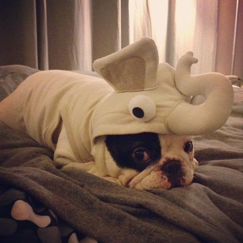 bulldogge kostüm whereiamhappiest