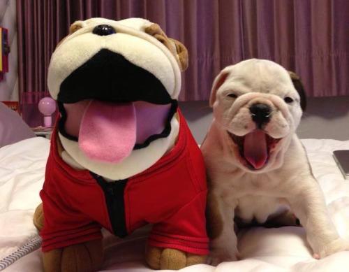 olde-english-bulldogges