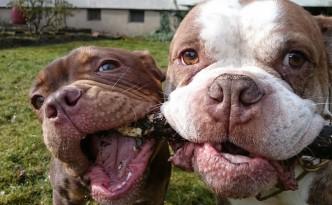 bully days bulldoggen show
