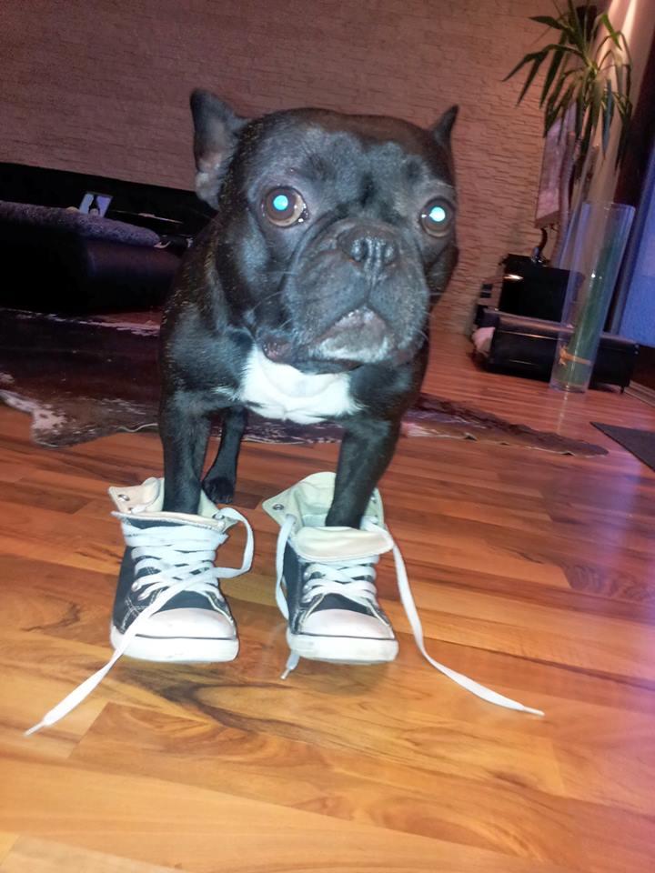 bulldogge joggen madox