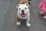 Was kostet eine Not-Bulldogge? Infos zur Schutzgebühr